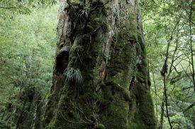 七本杉の写真
