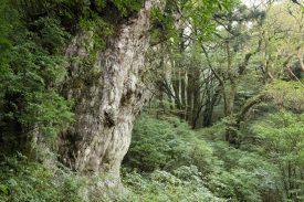 縄文杉の写真