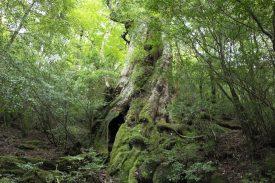 大王杉の写真