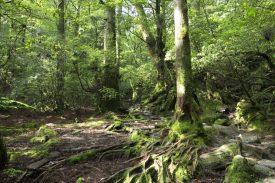 苔の森を歩くの写真