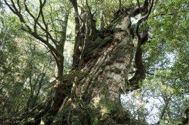 巨木の森を歩くの写真